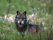 Der Wolf ist zurück im Kanton Luzern. Erstmals seit mehreren Jahren ist es im Kanton Luzern zu einem bestätigten Wolfsriss gekommen. (Bild: KEYSTONE/MARCO SCHMIDT)