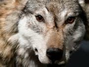 Wolf unter Verdacht: Nach mehreren Rissen in der Zentralschweiz sind Tierhalter alarmiert. (Bild: KEYSTONE/WALTER BIERI)