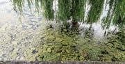 Vor dem Gredhaus in Steinach treiben grünliche Fetzen im Wasser. (Bild: Hanspeter Schiess)