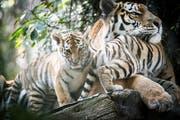 Kommen die Tigerjungen in die Pubertät, müssen sie den Walter-Zoo verlassen. Wohin, das wird in London entschieden. (Bild: Ralph Ribi)