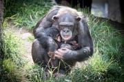 Auch bei den Schimpansen gab's Nachwuchs: Eins von zwei Babys mit seiner Mutter. (Bild: Ralph Ribi)