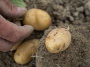 Kartoffeln würden zu einem Hauptnahrungsmittel, sollte die Schweiz sich in einem Notfallszenario selbstversorgerisch ernähren müssen. (Bild: Agroscope)