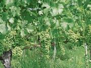 Es wird ein sensationelles Weinjahr, wenn die Natur den Winzern bis nach dem Wimmet keinen Strich durch die Rechnung macht. (Bild: kla)