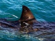Der mutmassliche Hai hatte laut Angaben eines der Bissopfer eine Grösse zwischen 90 und 120 Zentimeter. (Bild: KEYSTONE/AP/SCHALK VAN ZUYDAM)