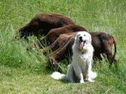Ein Herdenschutzhund und eine Schafherde. Wanderer sollten ruhig an Schutzhunden vorbeigehen und beispielsweise nicht mit dem Wanderstock herum fuchteln. Auch freundliches Zureden kann helfen. (Bild: KEYSTONE/APA/APA/BARBARA GINDL)