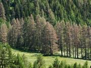 Herbstlich gefärbte Lärchen mitten im Sommer. Schuld ist der Graue Lärchenwickler, der sich dieses Jahr im Engadin wieder explosiv vermehrt und die Lärchen kahl frisst, wie hier in S-chanf. Die meisten Bäume erholen sich noch im gleichen Sommer wieder. (Bild: WSL/Beat Wermelinger)