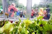 Fleischfressende Pflanzen im Botanischen Garten: Der Kurs steht auch dieses Jahr wieder auf dem Sommerplausch-Programm. (Archivbild: Urs Jaudas)