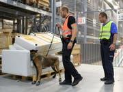 Schnüffler im Dienst der Grenzwacht und der Polizei: Ein Spürhund sucht in den Lagerhallen des Möbelhauses Ikea in St. Gallen nach Sprengstoff. (Bild: KEYSTONE/GIAN EHRENZELLER)