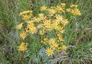 Hübsche Wiesenblumen, die für Kühe und Pferde tödlich sein können: das Jakobskreuzkraut. (Bild: PD)