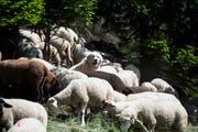 Ein Schutzhund bewacht seine Schafherde auf einer Alp im Wallis. Bild: Jean-Christophe Bott/Keystone (Plan-Cernet, 10. Juni 2014)