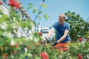 Obergärtner Andreas Hüsler kümmert sich um die roten Rosen im Martinspark. (Bild: Maria Schmid (Baar, 19. Juli 2018))