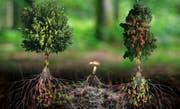 Illustration, wie Bäume miteinander kommunizieren, etwa via Wurzeln oder Pilze. (Bilder: Outside the box)