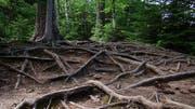 Komplexe Wurzelsysteme verbinden Bäume untereinander, wobei man das Meiste nicht so, da es unterirdisch ist.