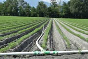 Felder bewässern bleibt im Wartau möglich, aber nur koordiniert und abwechselnd gemäss dringendstem Bedarf. Das wird den Wasserverbrauch deutlich senken. (Bild: Thomas Schwizer)