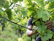 Während viele Agrarbereiche unter der momentanen Trockenheit leiden, können die Weinbauern dem Wassermangel auch etwas Positives abgewinnen: Krankheiten treten seltener auf. (Bild: KEYSTONE/ALEXANDRA WEY)