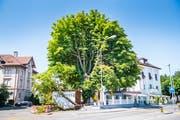 Der Kastanienbaum steht direkt neben der Terrasse des Park Hotels. (Bild: Andrea Stalder)