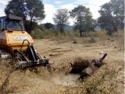 Der junge Elefant hatte bereits die ganze Nacht in der Schlammgrube verbracht, als Tierschützer mit einer Planierraupe die steilen Wände der Grube abflachten. (Bild: Kariba Animal Welfare Fund Trust)