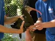 Zuerst nach Österreich, dann in die Toskana: Vier junge Waldrappen aus dem Zürcher Zoo werden ausgewildert. (Bild: Zoo Zürich)