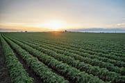 Fast jede zehnte aus den USA exportierte Sojabohne stammte im vergangenen Jahr aus dem vergleichsweise kleinen Iowa. (Bild: Daniel Acker/Bloomberg; 19. Juni 2018)