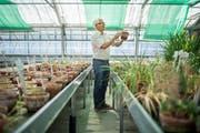 Aus den Samen zieht Hanspeter Schuhmacher in den Gewächshäusern Pflanzen für den botanischen Garten. (Bild: Benjamin Manser)