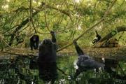 Begehrter Platz zum Abkühlen: Schimpansen in der Fongoli-Savanne in Senegal. (Bild: Imago)
