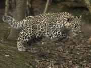 Im Nordkaukasus sind zwei Persische Leoparden ausgewildert worden. (Bild: WWF/Daniel Manganelli)
