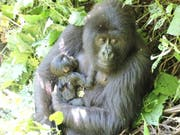 Das Berggorilla-Weibchen Anangana im Virunga-Nationalpark mit ihrem Neugeborenen im Arm. (Bild: Virunga National Park)