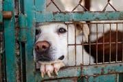 Hunde sind schweizweit die häufigsten Opfer von Vernachlässigungen und Quälereien. (Symbolbild: Getty)