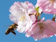 Die Auswirkungen von Insektenmitteln auf Bienen sind umstritten. Der Einsatz mehrerer Schutzmittel mit bestimmten Wirkstoffen ist darum in der EU eingeschränkt. (Bild: KEYSTONE/AP/JENS MEYER)