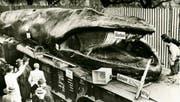 Auf einem Güterwagon wurde der 55 Tonnen schwere Kadaver der Waldame «Mrs. Haroy» durch Europa geschleppt. Der Halt in Zug wurde gross angekündigt (Bild weiter unten). (Bilder: PD)