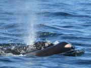 Die Orca-Mutter treibt ihr totes Junges in kanadischen Gewässern nahe Victoria im Wasser vor sich her. (Bild: KEYSTONE/AP Center for Whale Research/DAVID ELLIFRIT)