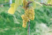 Eine populäre pilzwiderstandsfähige Traubensorte, die feine Tropfen ergibt: die Solaris. (Bild: Alamy)