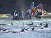 Die Tierschutzorganisation Sea Shepherd dokumentiert immer wieder die Jadgd auf Delfine oder Wale in Wort und Bild. Laut einem Bericht der Organisationen Animal Welfare Institute, Whale and Dolphin Conservation und Pro Wildlife werden jährlich rund 100'000 Delfine und Kleinwale getötet. (Bild: KEYSTONE/AP Sea Shepherd Conservation Society)