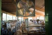 Der Ventilator ist für die Kühe eine willkommene Abkühlung.