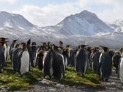 Laut Forschern ist der Bestand an Königspinguinen auf der Ile aux Cochons in den vergangenen 30 Jahren empfindlich zurückgegangen. Im Bild: Pinguine auf Südgeorgien. (Bild: KEYSTONE/APA/MONIKA UNEGG)