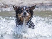 Falls sich ein Hund statt im kühlen Wasser auf heissem Asphalt bewegen muss, empfiehlt die Zürcher Stadtpolizei Schuhe für den Schutz der Pfoten. (Bild: KEYSTONE/APA/APA/GEORG HOCHMUTH)