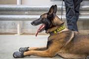 Ein Polizeihund im Einsatz, die Schuhe zum Schutz vor dem heissen Asphalt sind montiert. (Bild: Urs Bucher)