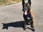 Die Luft ist heiss, der Asphalt ist noch heisser: Den Hunden der Zürcher Stadtpolizei helfen Schühchen. (Bild: Stadtpolizei Zürich)