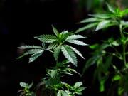 Der Bundesrat will wissenschaftliche Studien zu Cannabis zulassen. (Bild: KEYSTONE/AP/TED S. WARREN)