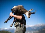 Ein Jäger bei Nax im Unterwallis mit einer Gämse auf dem Rücken. Nach dem zahlreichen Fallwild im vergangenen Winter wird in der Jagdsaison 2018 die Abschussquote gesenkt. (Bild: Keystone/OLIVIER MAIRE)