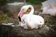 Bis der kleine Flamingo rosa Federn hat, dauert es fast sieben Jahre. (Bilder: pd)