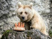 Die syrische Braunbärin Fränzi vom Natur- und Tierpark Goldau feierte im Januar noch ihren 35. Geburtstag - nun ist sie tot. (Bild: KEYSTONE/ALEXANDRA WEY)