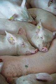 In der Nutztierhaltung werden Antibiotika auch vorsorglich eingesetzt. (Bild: Louis Berg/Keystone)