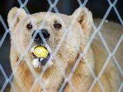 Das Bärenland in Arosa ist sein neues Zuhause. «Napa», der letzte serbische Zirkusbär, ist im Bündner Ferienort eingetroffen. (Bild: KEYSTONE/GIAN EHRENZELLER)