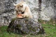 Die Braunbärin Fränzi vom Natur- und Tierpark Goldau feierte Anfang Jahr ihren 35. Geburtstag. Jetzt ist sie gestorben. Bild: (Goldau, 17. Januar 2018 KEYSTONE/Alexandra Wey)