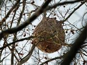 Verdrängen einheimische Arten: ein Nest von Asiatischen Hornissen in Nordspanien. (Bild: KEYSTONE/EPA/JUNA HERRERO)