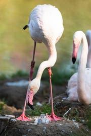 Die Flamingo-Mutter guckt verdutzt ihr Junges an.
