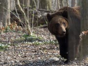 Ein Bär aus dem Berner Tierpark Dählhölzli. (Bild: KEYSTONE/PETER SCHNEIDER)