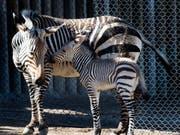 Die Streifen der Zebras tragen nicht zur Abkühlung bei. Eine Forschungsgruppe hat diese Theorie jüngst widerlegt. (Bild: KEYSTONE/AP The Salt Lake Tribune/RICK EGAN)