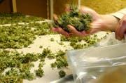 Mit einem Schnelltest können nun auch Luzerner Polizisten innerhalb von zwei Minuten prüfen, ob das sichergestellte Cannabis legal oder illegal ist. (Bild: Alexandra Wey/Keystone)